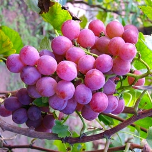 fruit_purple_grapes-5440